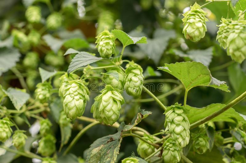 Hop growing on a branch stock photos