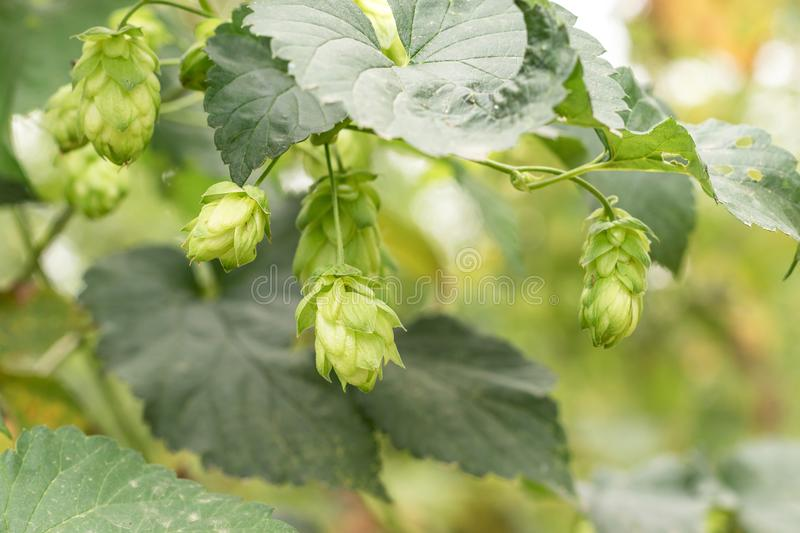 Hop growing on a branch of plant royalty free stock images