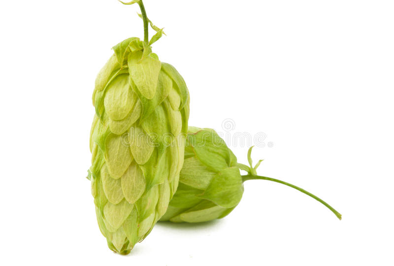 Download Hop isolated stock photo. Image of lager, drunk, brew - 28606104