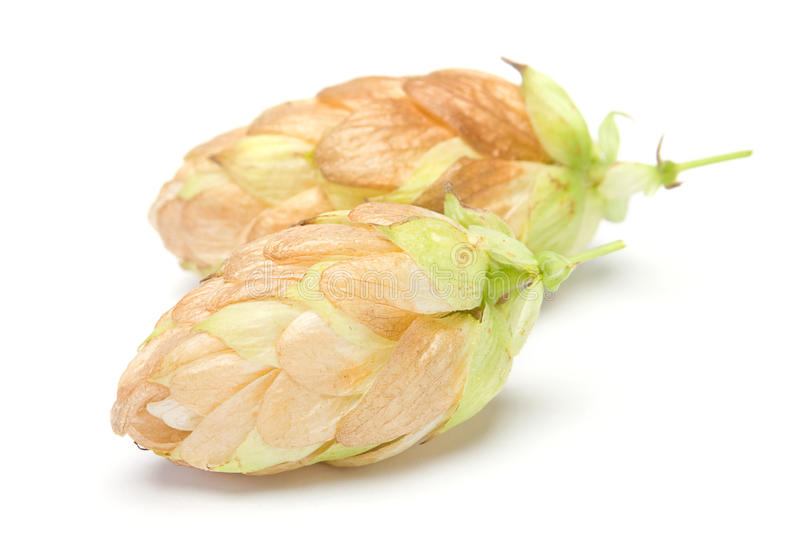 Download Hop plant closeup stock photo. Image of nobody, branch - 20649440