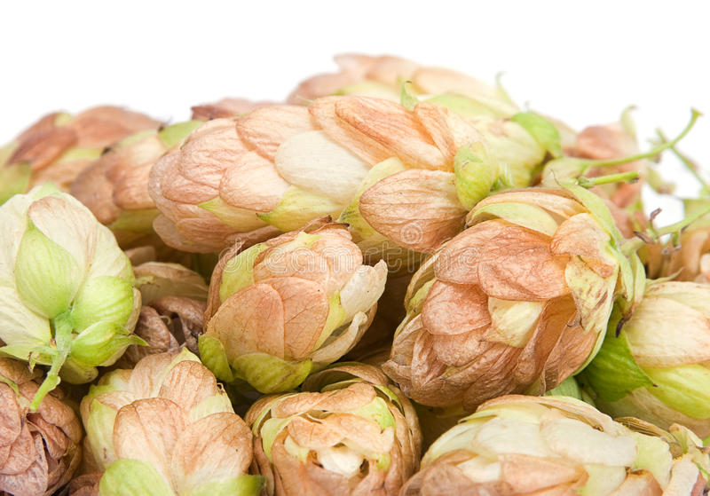 Download Hop plant closeup stock image. Image of spice, growth - 22675543