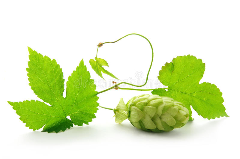 Download Hop plant with cone stock photo. Image of decoration - 13365246