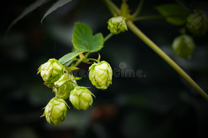 Humulus lupulus, close-up photo stock images