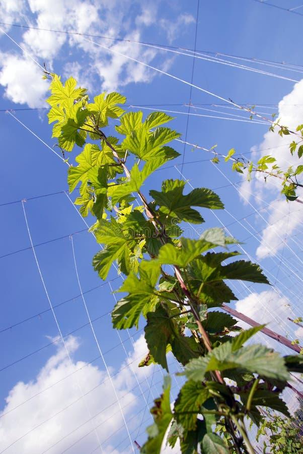 Download Hop sprout stock image. Image of hopfen, plant, flora - 24916357