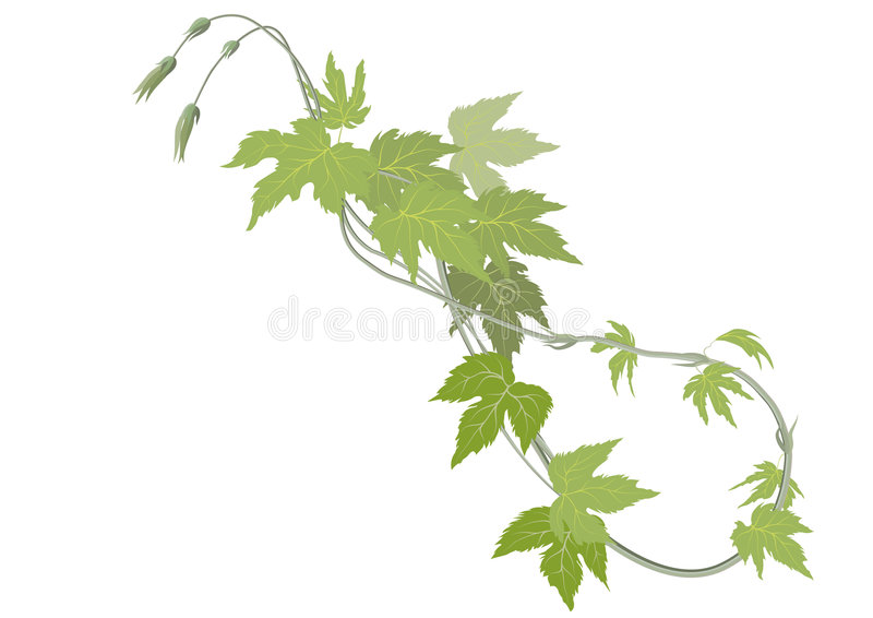 Hop Sprouts Royalty Free Stock Photos