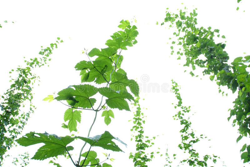 Hop vine stock photography