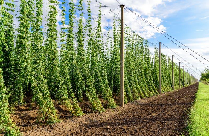 Hopcultivation in Deutschland lizenzfreie stockbilder