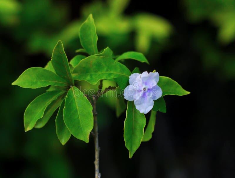 Hopeana Benth de Brunfelsia photos stock