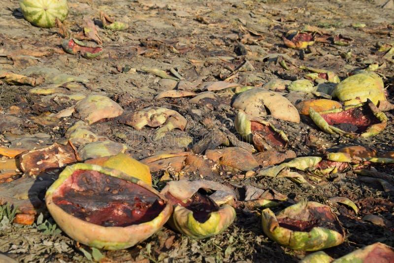 Hopen van rottende watermeloenen Schil van meloen Een verlaten gebied van watermeloenen en meloenen Rotte Watermeloenen Blijft va royalty-vrije stock fotografie
