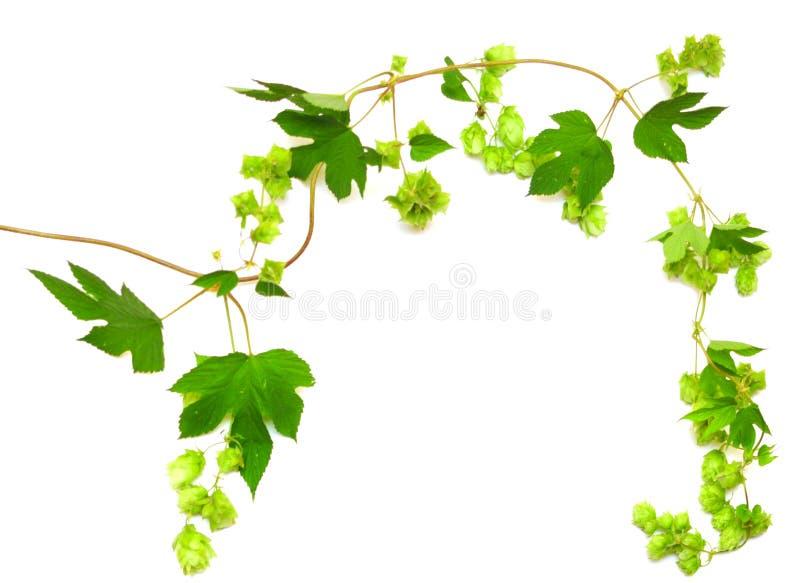Hopfen pflanzen twined Rebe lizenzfreie stockbilder