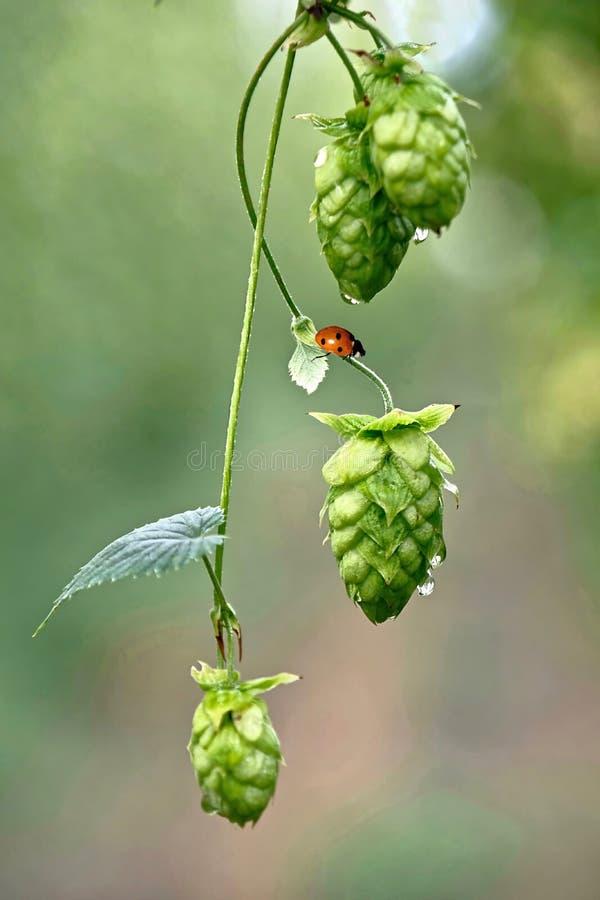 Hopfenrebe mit Samenkegeln und Dame hören ab Organisches frisches Farmerzeugnis lizenzfreie stockbilder