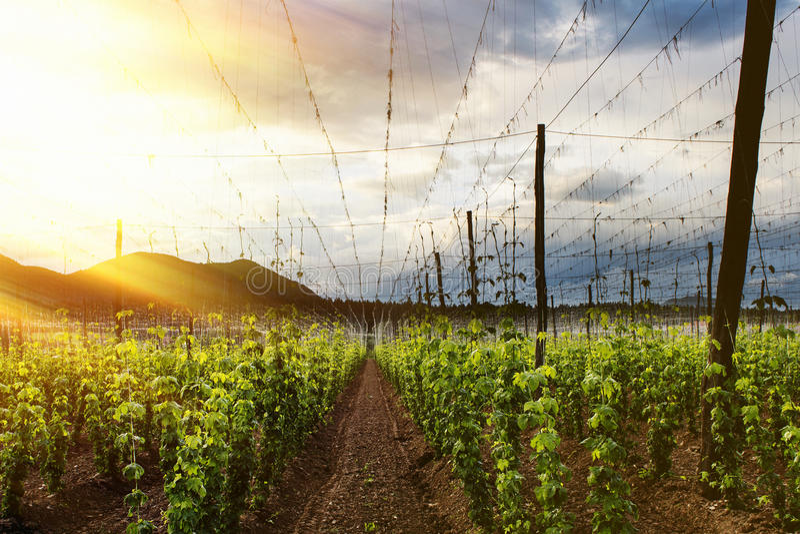 Hopgebied - Bewolkte Hemel stock afbeelding