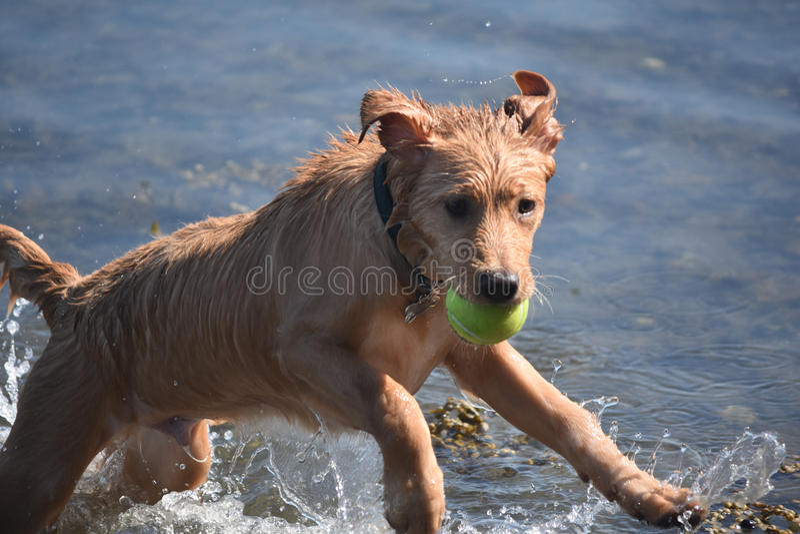 Hoppa den våta Tollervalphunden i vattnet med en tennisboll arkivfoto