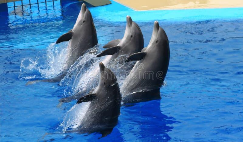 hoppa för delfiner royaltyfria bilder