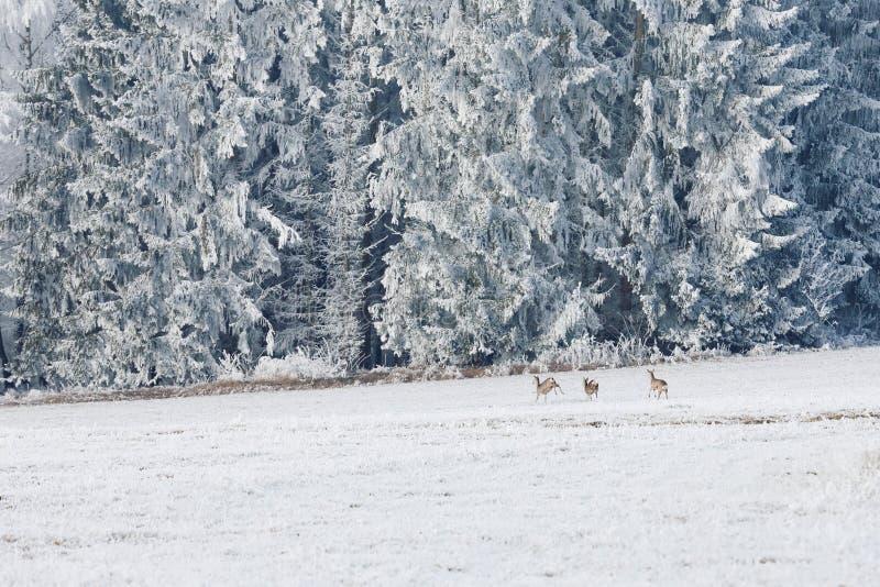 Hoppa hjortar i ett vinterlandskap Vinterlandskap och en grupp av rådjur i ängen i Sumava, Tjeckien fotografering för bildbyråer