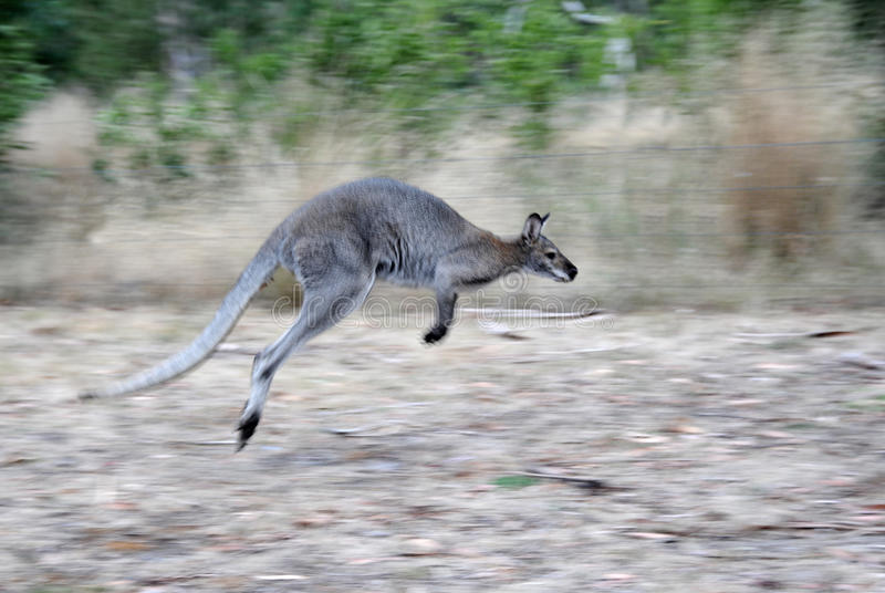 Hoppa känguru royaltyfria bilder