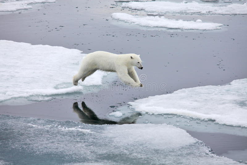 Hoppa polar björn royaltyfria foton