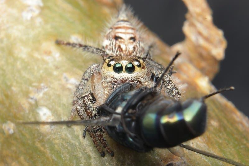 Hoppa spindeln som äter flugor fotografering för bildbyråer