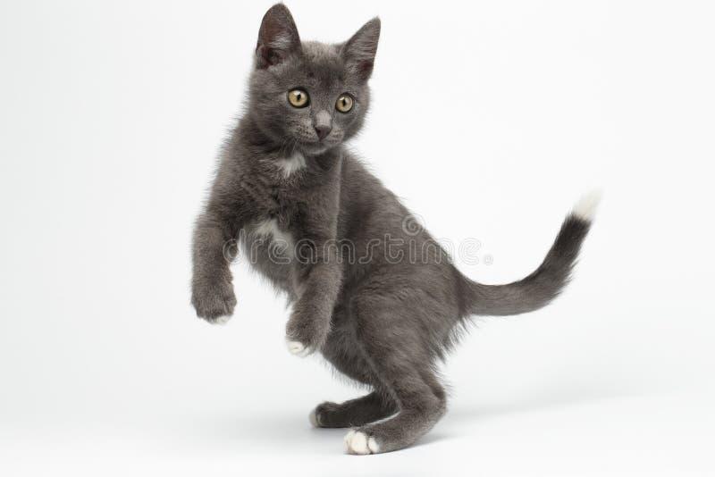 Hoppade skämtsamma Gray Kitty på vit arkivbild