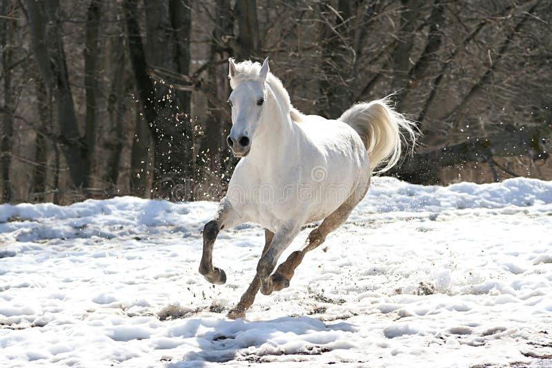 Hoppande over vit häst