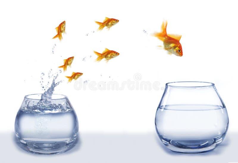Hoppguldfisk från akvariet till akvariet fotografering för bildbyråer