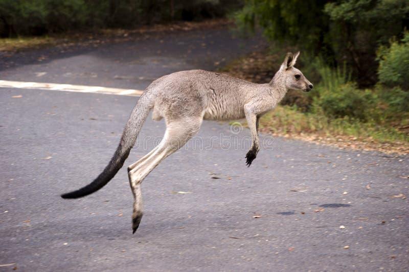Hopping kangaroo stock image