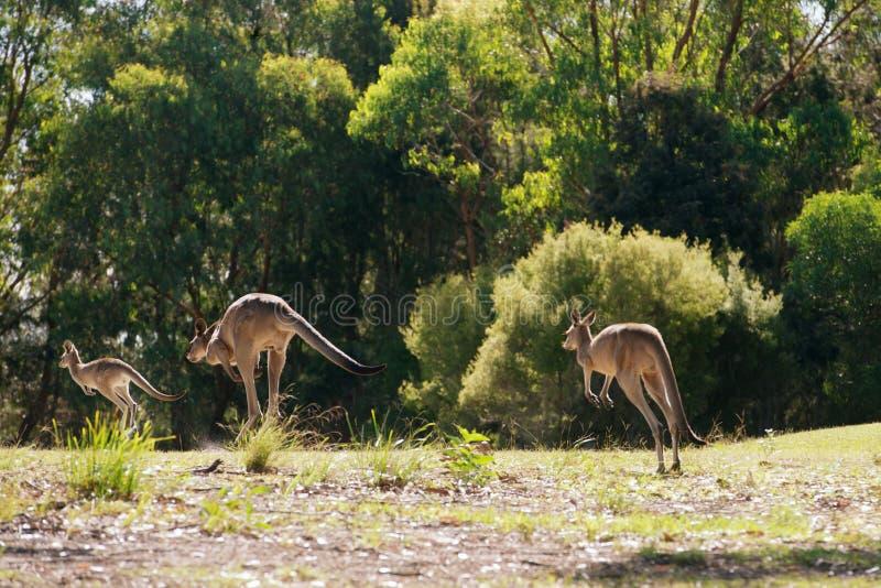 Hopping kangaroos royalty free stock photo