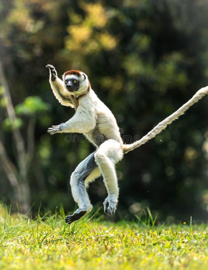 Hopping Sifaka Verreaux bipedally σε έναν μπροστινό και λοξά μια μετακίνηση στη Μαδαγασκάρη στοκ φωτογραφίες