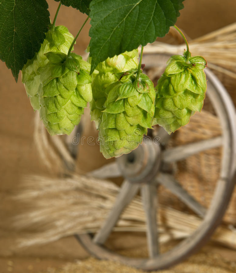 Hops. Still life with hop cones royalty free stock photography