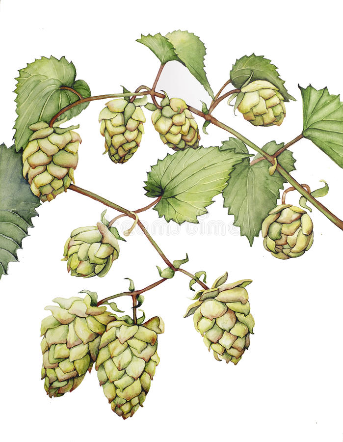 Hops. Watercolor with a branch of hops royalty free illustration