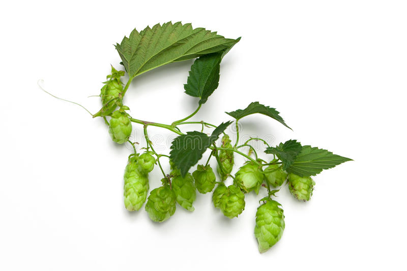 Hops branch stock images