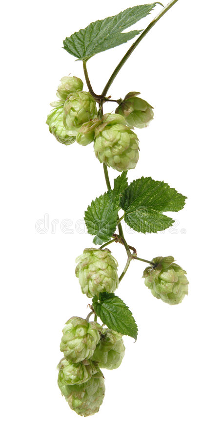 Hops branch royalty free stock photos