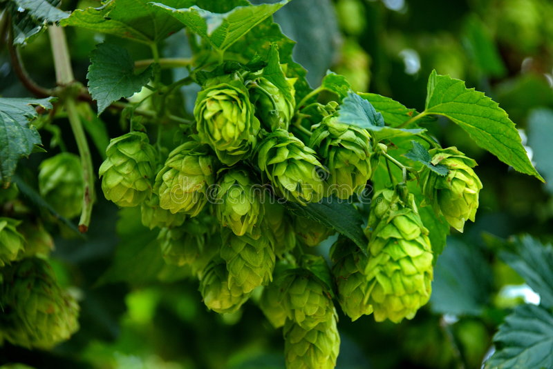 Hops ready for harvest in a hops farm stock photo