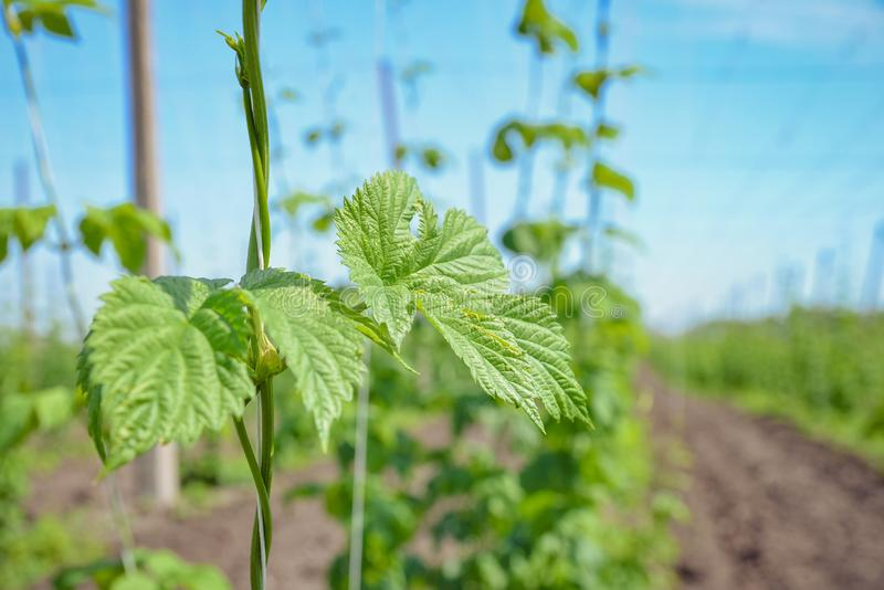 Hops field and blue sky royalty free stock image