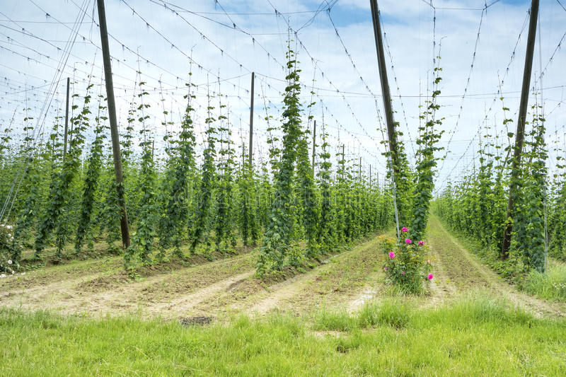 Hops Field in France. royalty free stock images