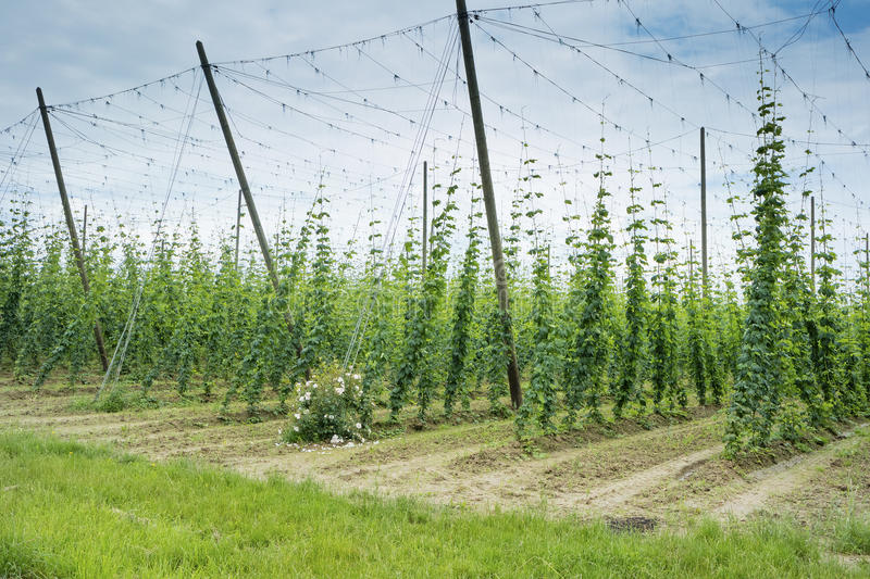 Hops Field in France. royalty free stock photos