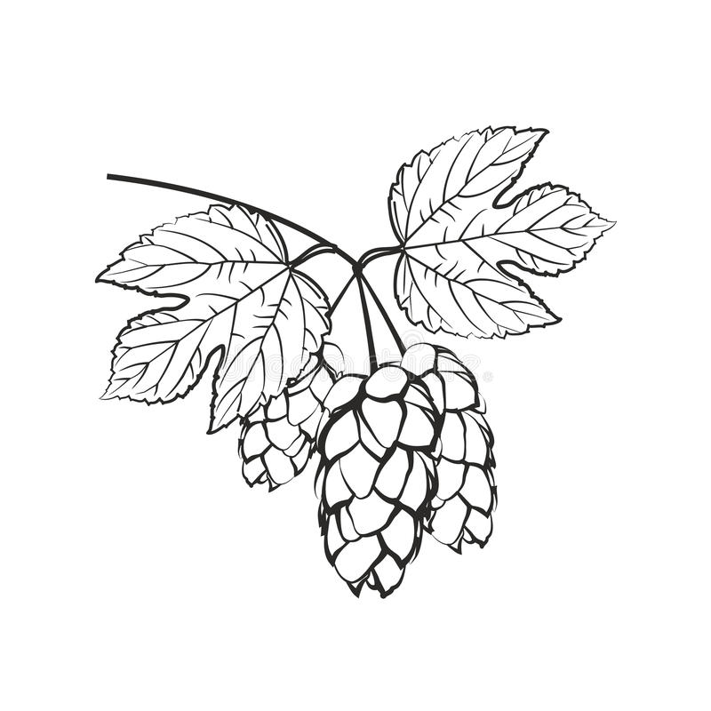 Hops with flower and leaf on a white background. stock photo