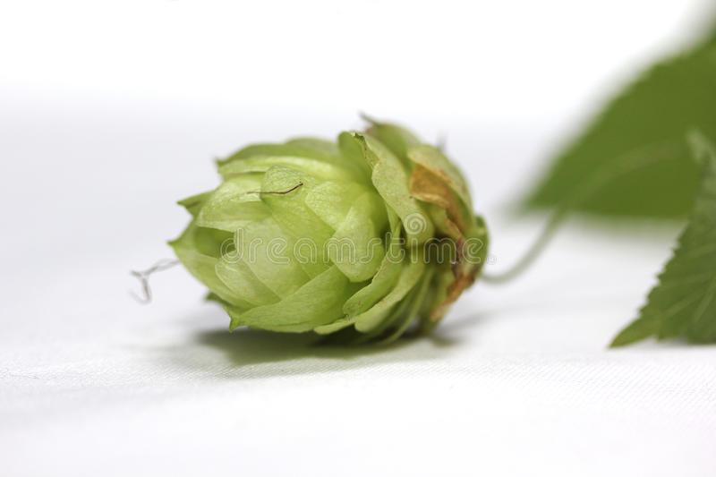 Hops Flower Macro. A macro shot of a hops flower isolated on a white background royalty free stock images