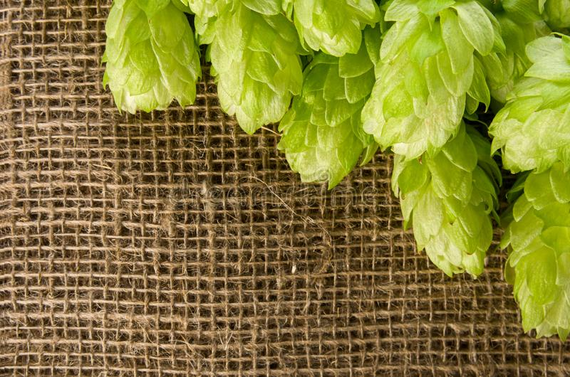 Hops green ripe cone for brewing on burlap braided jute background with copy space, close-up, top view stock photos