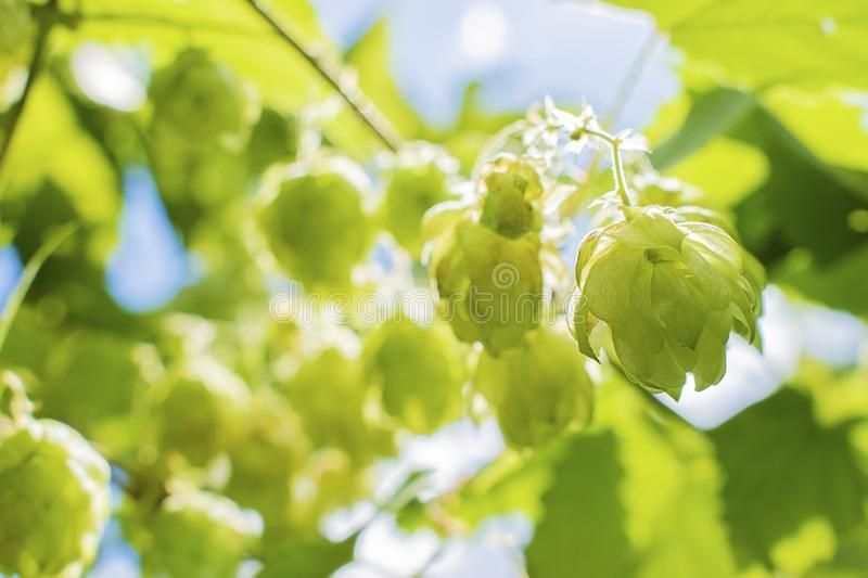 Hops growing on Humulus lupulus plant foliage backlit by the sun Selective focus. Hops growing on Humulus lupulus plant. Common hop flowers or seed cones and royalty free stock images