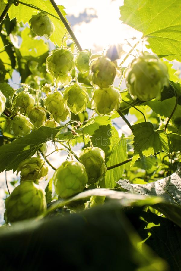Hops growing on Humulus lupulus plant foliage backlit by the sun Selective focus. Hops growing on Humulus lupulus plant. Common hop flowers or seed cones and royalty free stock photography