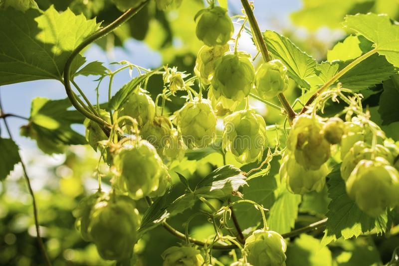 Hops growing on Humulus lupulus plant foliage backlit by the sun Selective focus royalty free stock photos