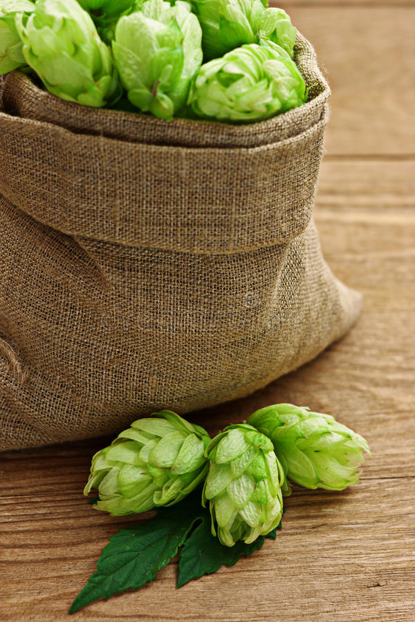 Hops in hessian sack. Green hops in hessian sack and scattered on wooden rustic surface stock photography