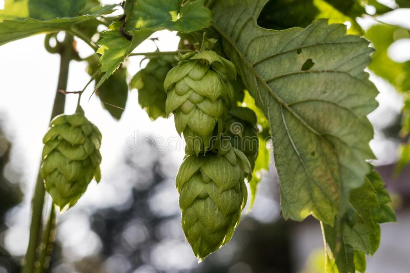 Hops royalty free stock photography