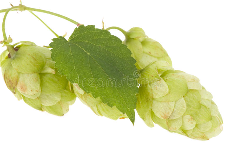 Hops Isolated Royalty Free Stock Photo