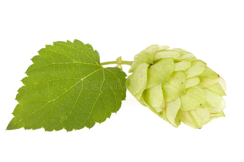 Download Hops isolated stock image. Image of white, culture, beer - 10910533