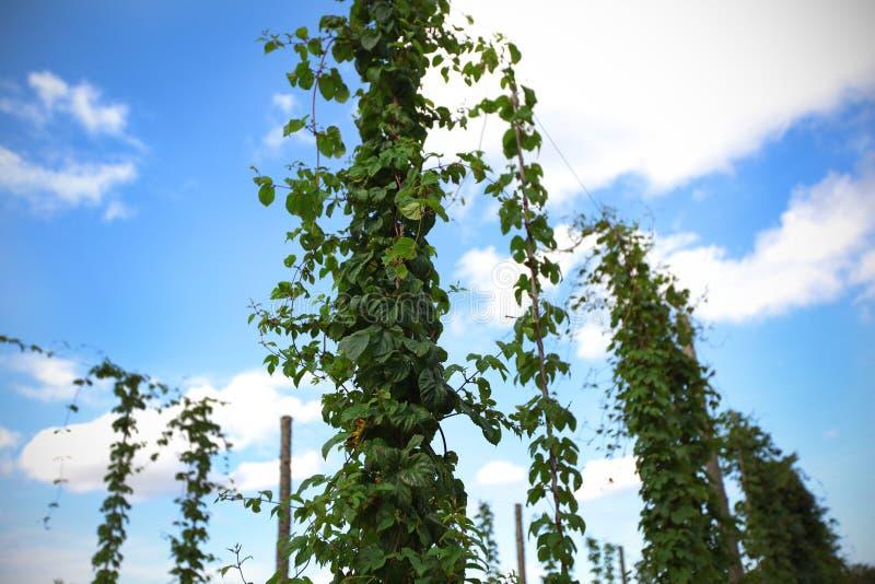 Hops a jarda com a planta que escala o fio imagens de stock royalty free