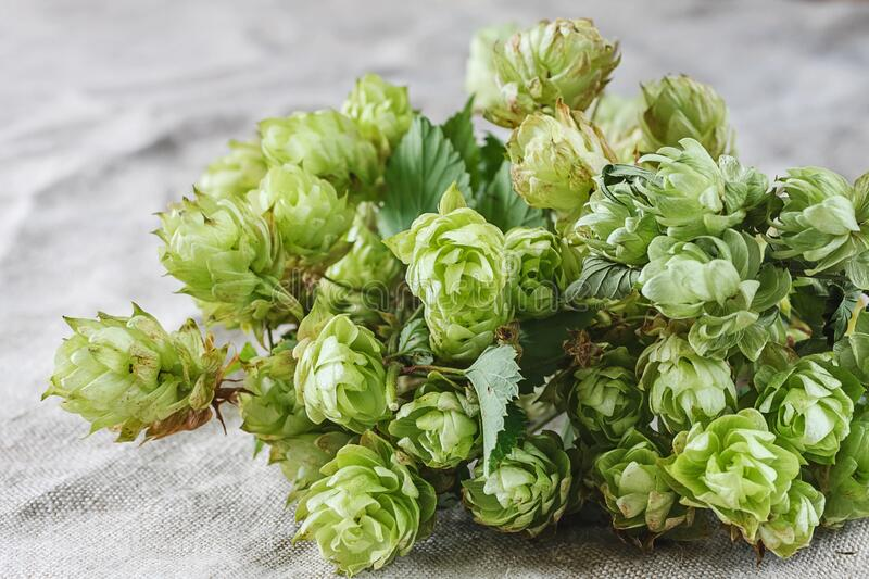 Hops on linen background stock photos