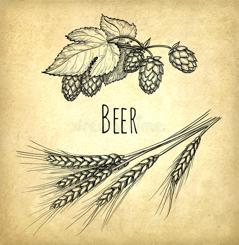 Hops and malt. On old paper background. Hand drawn vector illustration. Retro style royalty free illustration