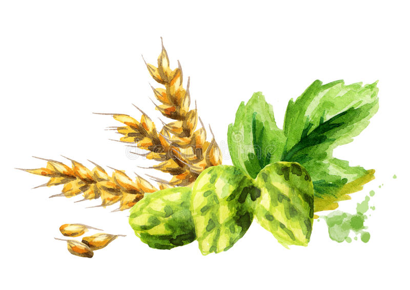 Hops and malt, watercolor. Hops and malt. Watercolor. Hand-drawn illustration stock illustration